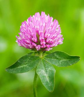 Red Clover Benefits